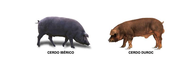 cerdo-iberico-cerdo-duroc